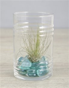 plants: Argentea Air Plant in Blue Stone Ribbed Cylinder!