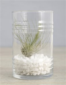 plants: Argentea Air Plant In White Stone Ribbed Cylinder!