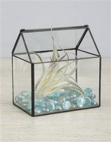 plants: Himnorum Air Plant in Glass House!