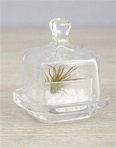 plants: Ionantha Fuego Air Plant with Stones!