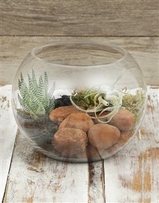 plants: Seleriana And Succulent in Fish Bowl!