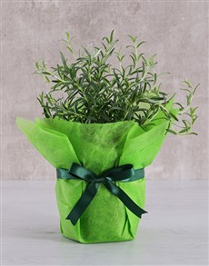 plants: Rosemary Plant in Tissue Paper!