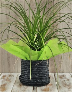 plants: Ponytail Palm in Hat Box!