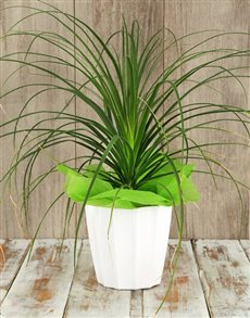 plants: Ponytail Palm in White Planter!
