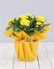 flowers: Potted Daisies in Wrapping!
