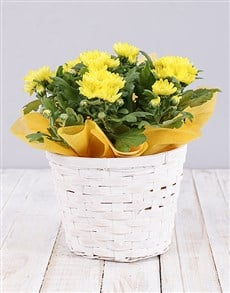 plants: Yellow Chrysanthemum Plant Basket!
