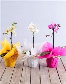 flowers: Midi Phalaenopsis Orchid!