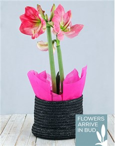 flowers: Pink Amaryllis in Woven Hat Box!