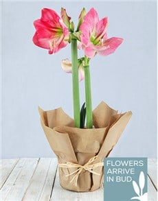 plants: Pink Amaryllis in Craft Paper!