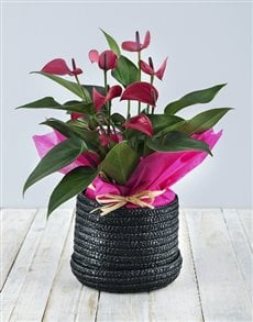 plants: Anthurium in Woven Hat Box!