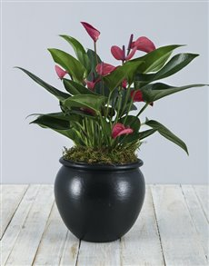 plants: Anthurium Plant in Black Pottery!