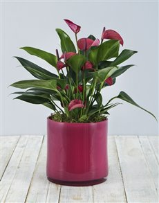 plants: Anthurium in Pink Cylinder Vase!