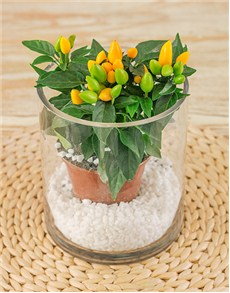 plants: Capsicums Plant in Glass Vase!