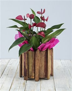 plants: Pink Anthurium in Wooden Spike Vase!