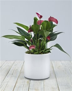 plants: Anthurium in White Cylinder Vase!