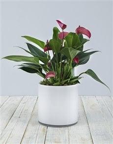 flowers: Anthurium in White Cylinder Vase!