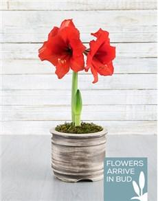 plants: Red Amaryllis Pot!