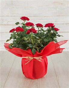 flowers: Red Rose Bush in Tissue Paper !