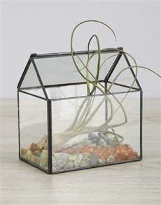 plants: Pseudo Baileyi Air Plant in Green Stone Glass Hous!
