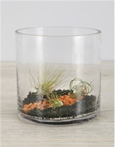 plants: Air Plant Trio In Black Stone Cylinder Vase!