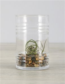 plants: Bulbosa Air Plant in Blue Gravel Ribbed Cylinder!