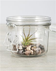 plants: Ionantha Fuego Air Plant in Pink Stones Mini Jar!