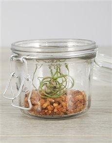 plants: Bulbosa Air Plant in Mini Jar!