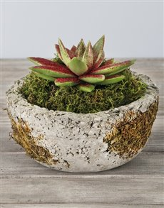 plants: Red Glitter Succulent in Cement Bonsai Bowl!