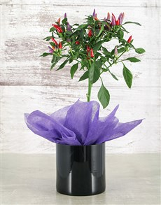 plants: Red Chilli in Black Vase!