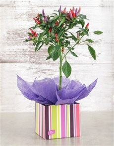 plants: Red Chilli in Occasion Box!