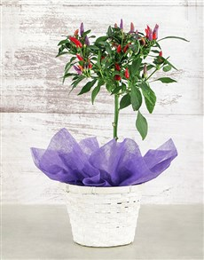 plants: Red Chilli in Woven Basket!