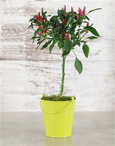 plants: Sunny Chilli Plant in Tin!