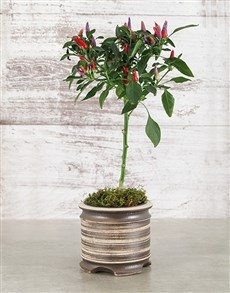 plants: Red Chilli in Medium Pot!