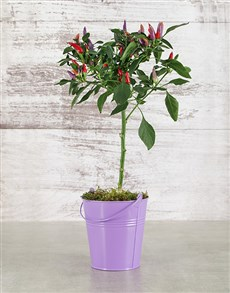 plants: Red Chilli in Purple Tin!