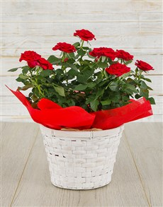 flowers: Red Rose Bush in Planter!