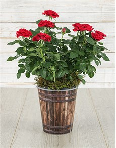 flowers: Red Rose Bush in Pot!