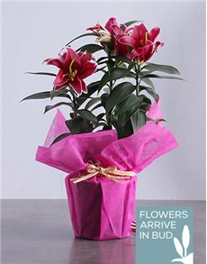 Stargazer Plant in Wrapping