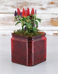 plants: Red Hot Chilli Vase!