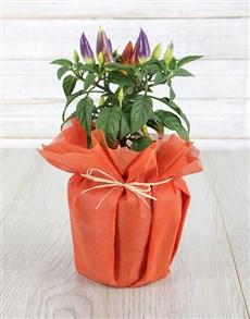 flowers: What a Hottie Chilli Plant !