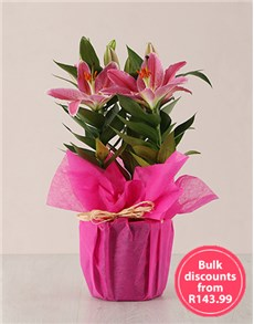 flowers: Stargazer Plant in Wrapping in Bulk!