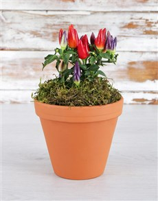 plants: Spice It Up Chilli Pot!
