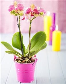 plants: Mini Phalaenopsis Orchid in a Pail!