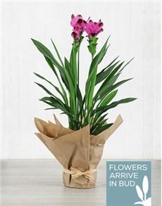 plants: Purple Curcuma Plant in Brown Paper!