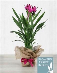 plants: Purple Curcuma Plant in Hessian Wrapping!