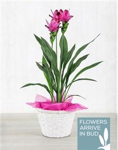 plants: Purple Curcuma Plant in Planter Pot!