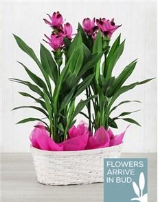 plants: Double Purple Curcuma Plant Basket!