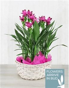 plants: Triple Purple Curcuma Plant Basket!