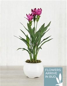 plants: Purple Curcuma Plant in White Pottery!