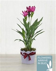 plants: Purple Curcuma Plant in Purple Ribbon Planter!