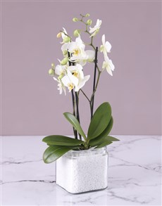 plants: Mini Phalaenopsis in a Square Vase!